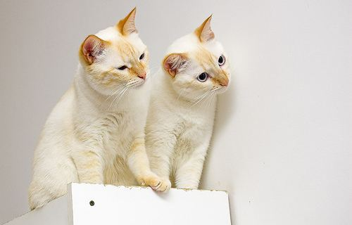 cute burmese cats