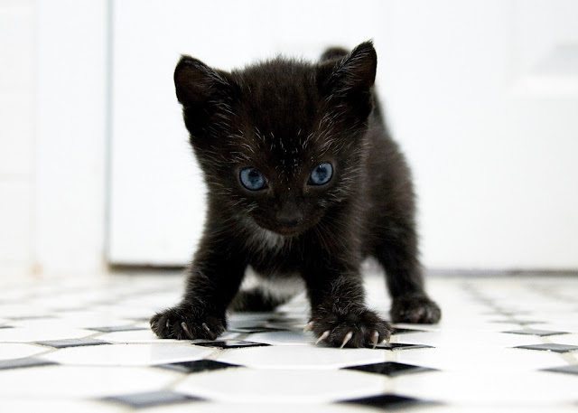 cute tux foster kitten