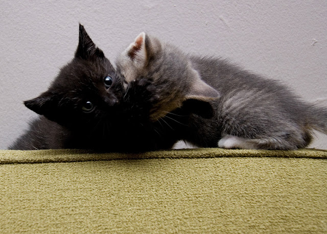 cute foster kittens fighting