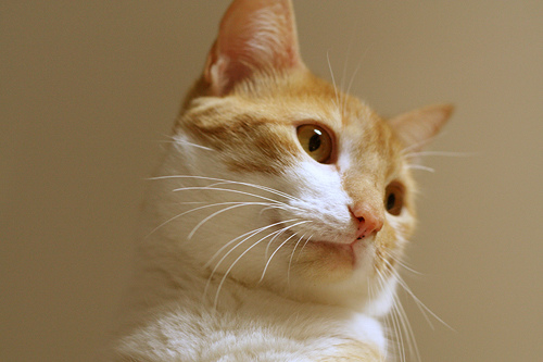 cute ginger and white cat