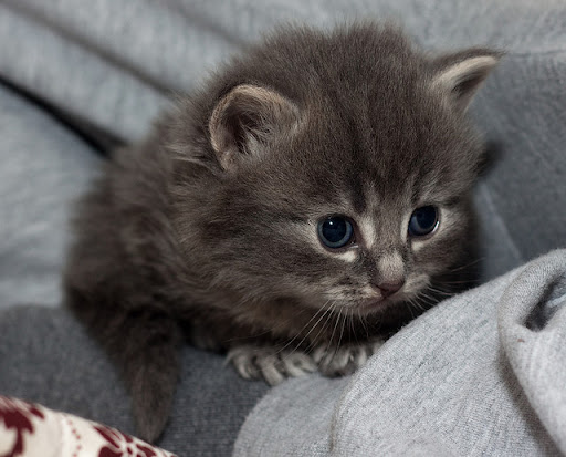 cute little gray kitten
