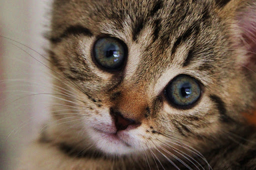 cute tabby kitten lovely face