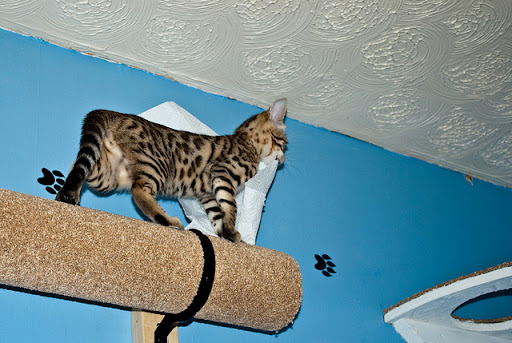 cute bengal kitten carrying paper towel