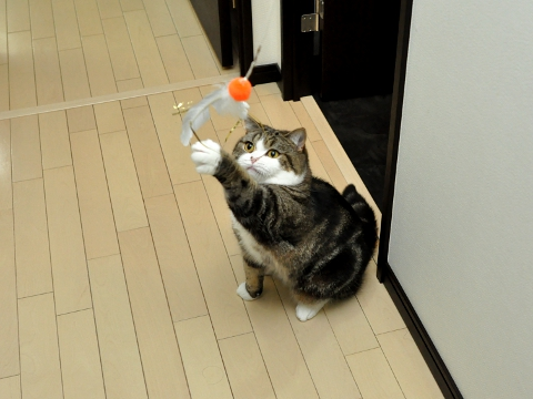 cute maru cat playing with da bird