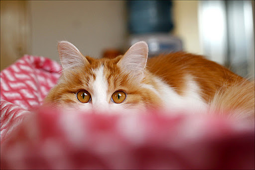 beautiful cute ginger and white cat