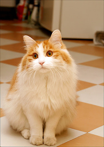cute ginger and white kitty