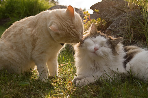 cute ginger cat kisses fluffy cat