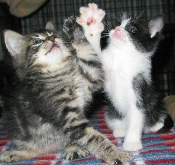 cute foster kittens playing