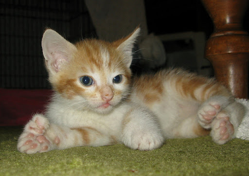 cute ginger kitten polydactyl