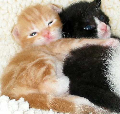 cute ginger kitten cuddle tuxedo kitten