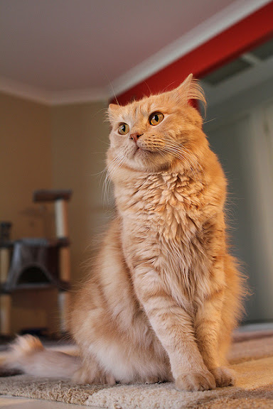 cute ginger fluffy cat