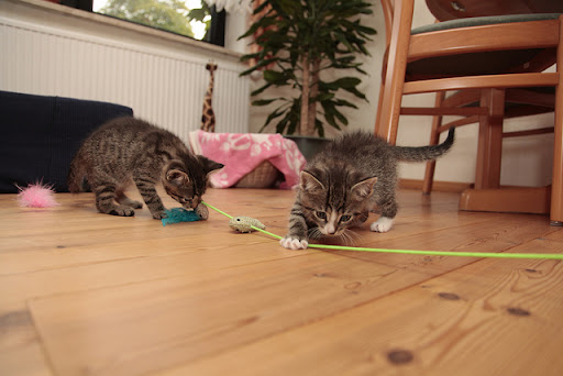 cute kittens inspecting a toy