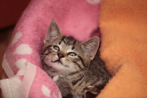 cute tabby kitten