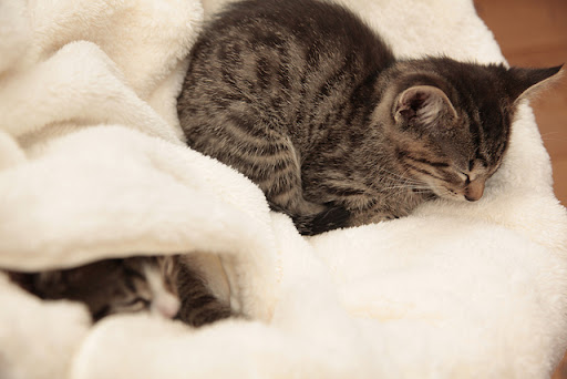 cute tabby kitten taking a nap