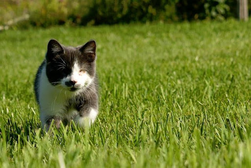 cute blind kitten gray cat walking on grass