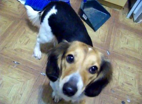 [Dog] 米格魯+臘腸狗=米腸狗?