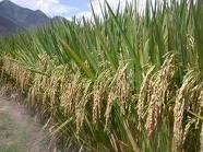 pestisida organik untuk wereng