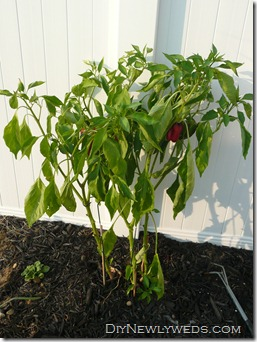 red_bell_pepper_plant