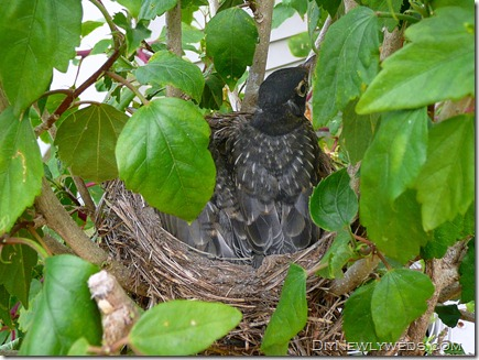 robins_in_nest