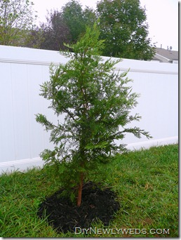 planted evergreen