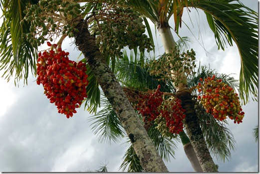 Palm tree and fruit Cardwell