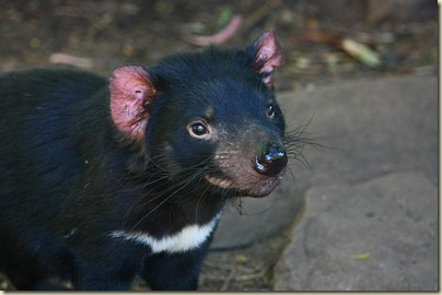 pademelon pet - photo #35