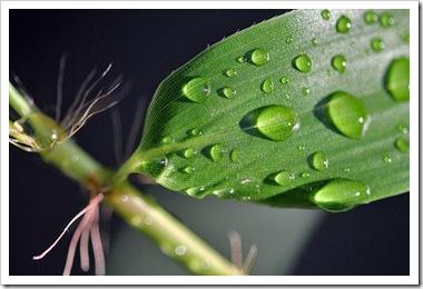 rain_drops_phyllostachys-bambusoides-castillon-inversa_oral_setae
