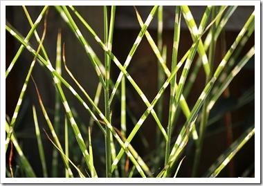 101026_Miscanthus_sinensis_Super_Stripe