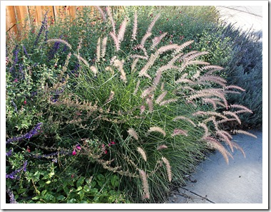 101026_pennisetum_karly_rose