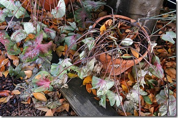 101107_dead_caladiums