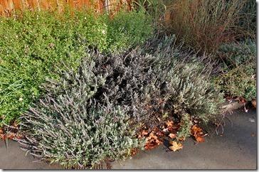 101107_dead_lavender