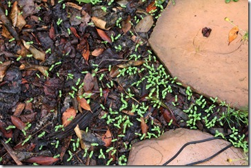 101107_nigella_seedlings