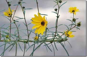101114_perennial_sunflower2