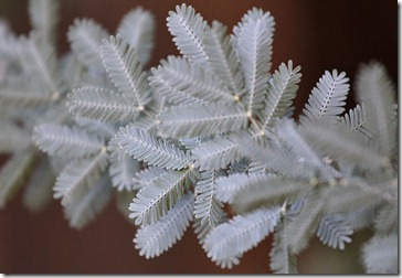 101114_conifer_with_white_needles