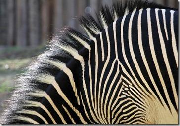 101114_zebra2