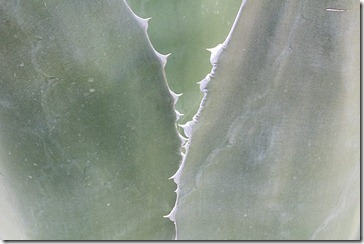 Agave-americana-closeup1