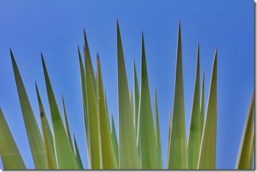 Agave americana-and-sky