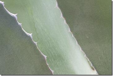 Agave-americana-closeup2