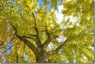 101121_UCDA_AutumnGold_gingko