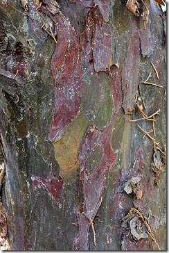 101121_UCDA_guadeloupe_island_cypress