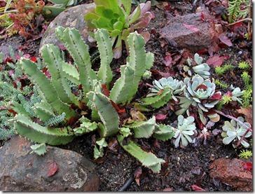 101218_Euphorbia-resinifera-