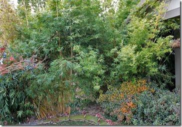 101211_Madman-Bamboo-frontyard