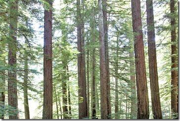 100815_redwoods_samuel-p-taylor-sp