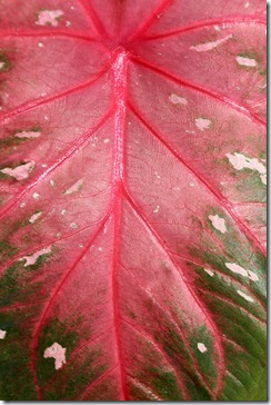 caladium-leaf