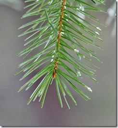 101223_pine_needles