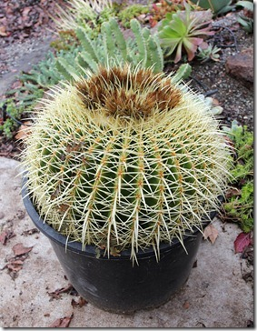 110106_barrel_cactus_from_lowes