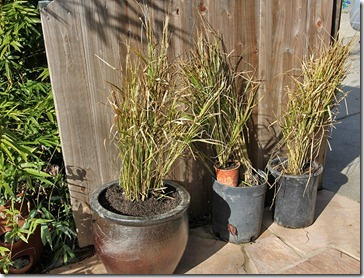 110109_divided_fountain_grass