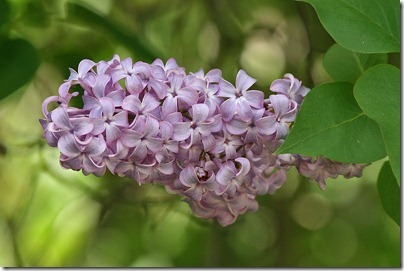 syringa_vulgaris_from_wikipedia