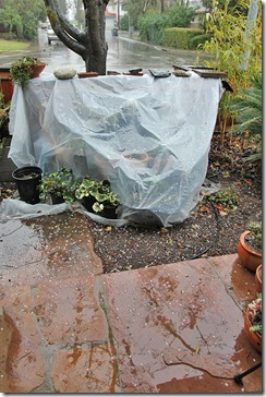 110217_rain_covered_cacti