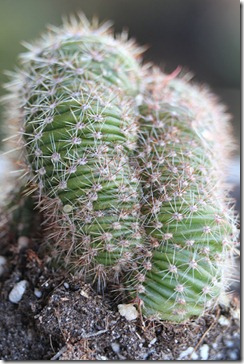 Echinopsis-sp.-forma-cristata